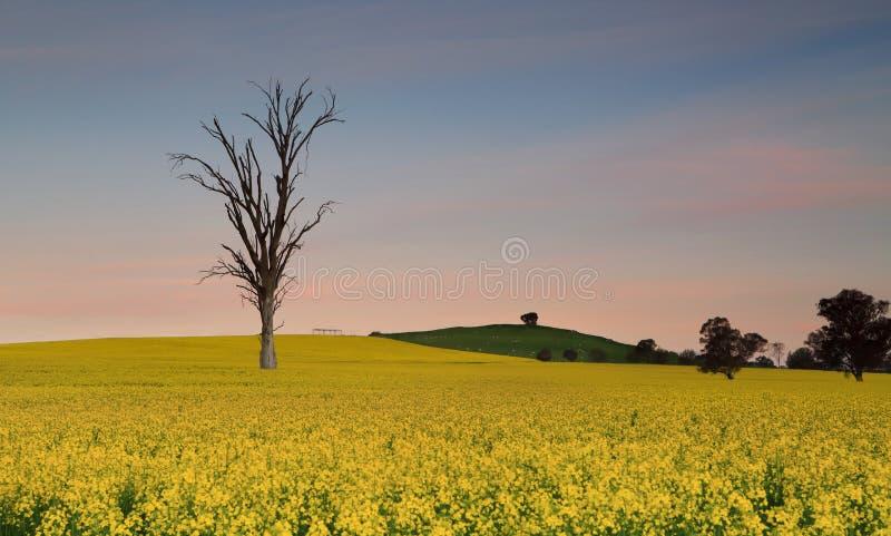 Schemerhemel over de gebieden van landbouwgrondcanola stock afbeeldingen