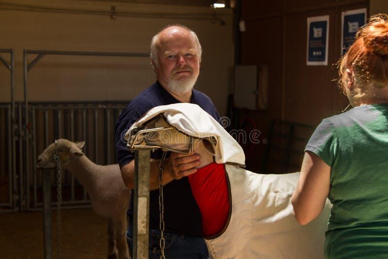 Scherende Schafe stockfotografie