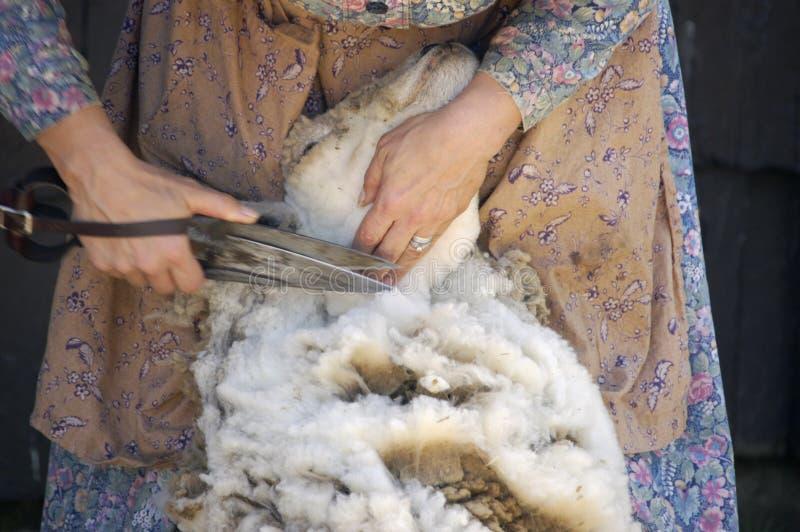 Scherende Schafe II lizenzfreie stockfotos