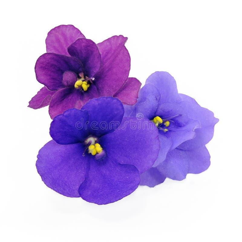 Schermo tre delle viole immagine stock