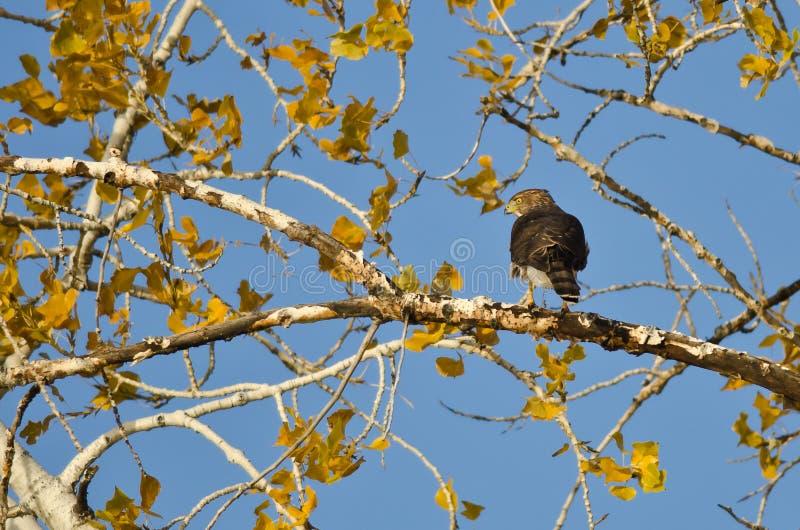 Scherp-Shinned Hawk Hunting van Autumn Tree stock afbeelding
