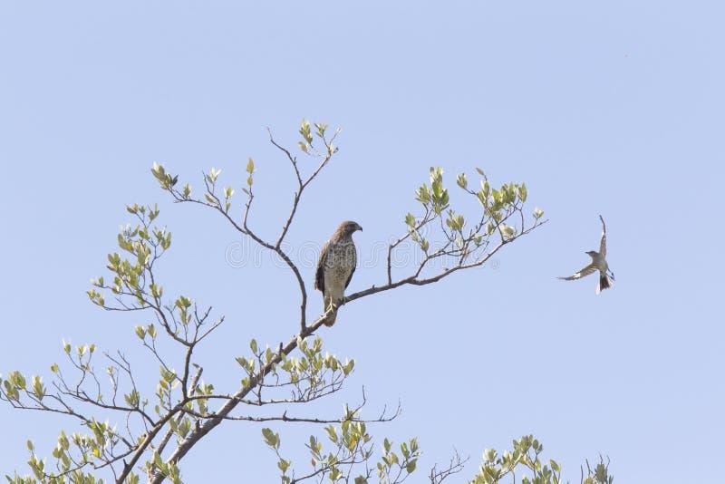 A scherp-shinned striatus van haviksaccipiter in een boom op een tak die wordt neergestreken door een noordelijke spotlijster die stock foto