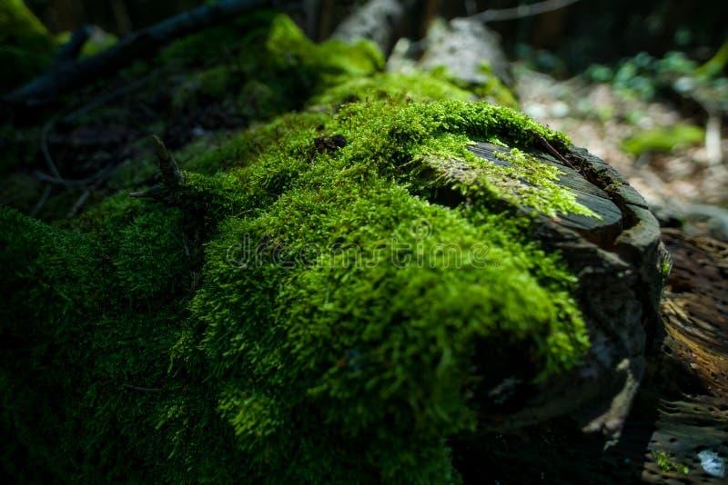Scherpe close-upfoto van mos-Behandeld hout Mooi mos en korstmos behandeld hout Heldergroene geweven mosachtergrond stock fotografie