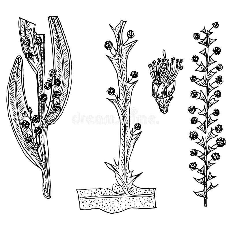 Schets van Australische acaciafiloids en bloemen Zwart-wit ontworpen vormen van acacia, gevleugelde acacia vector illustratie