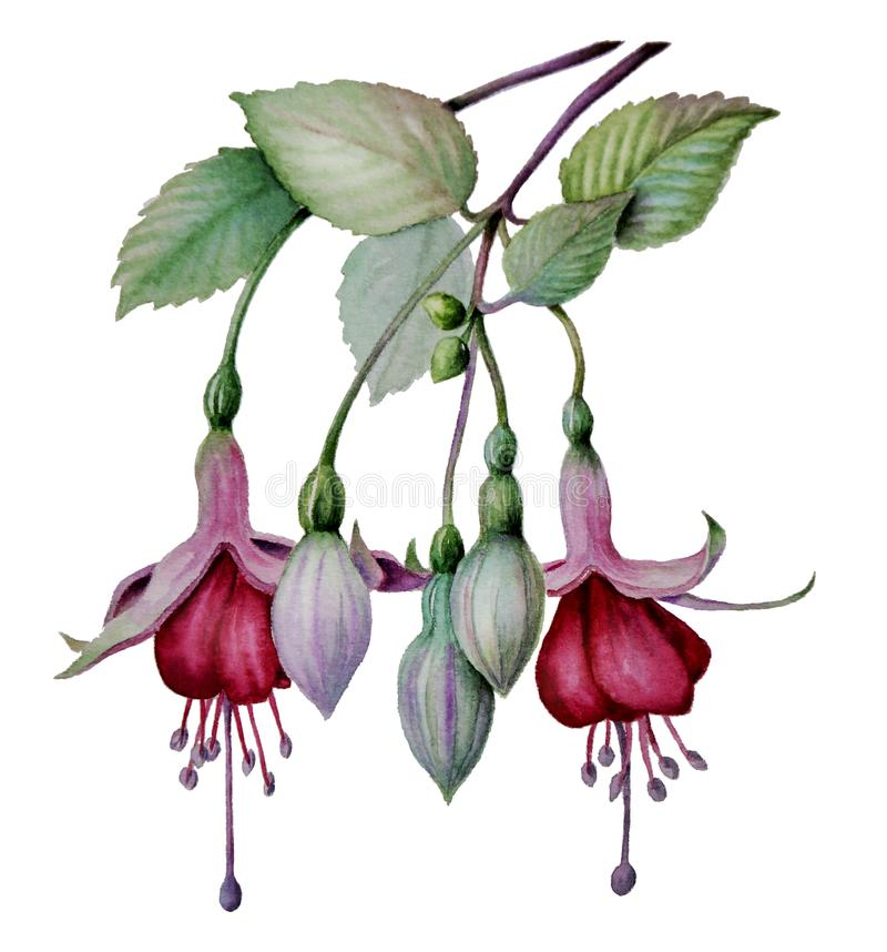 Schets van de waterverf de fuchsiakleurig bloem royalty-vrije illustratie