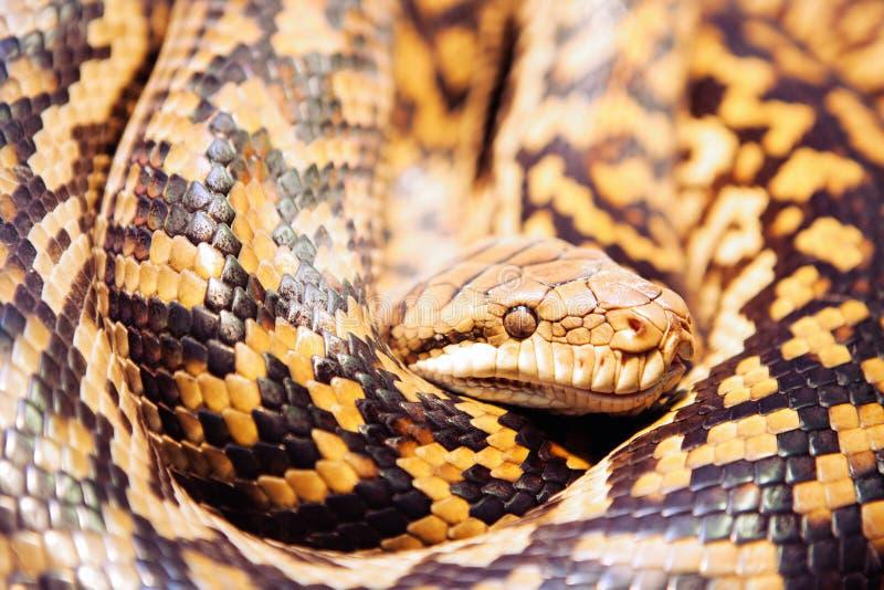 Scheuern Sie Pythonschlange stockbild