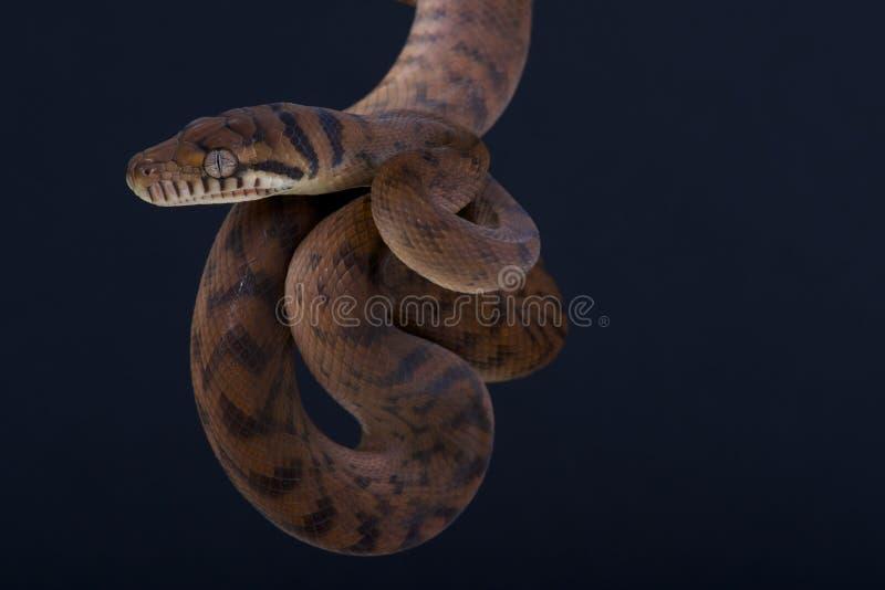 Scheuern Sie Pythonschlange/Morelia-amethistina lizenzfreies stockbild