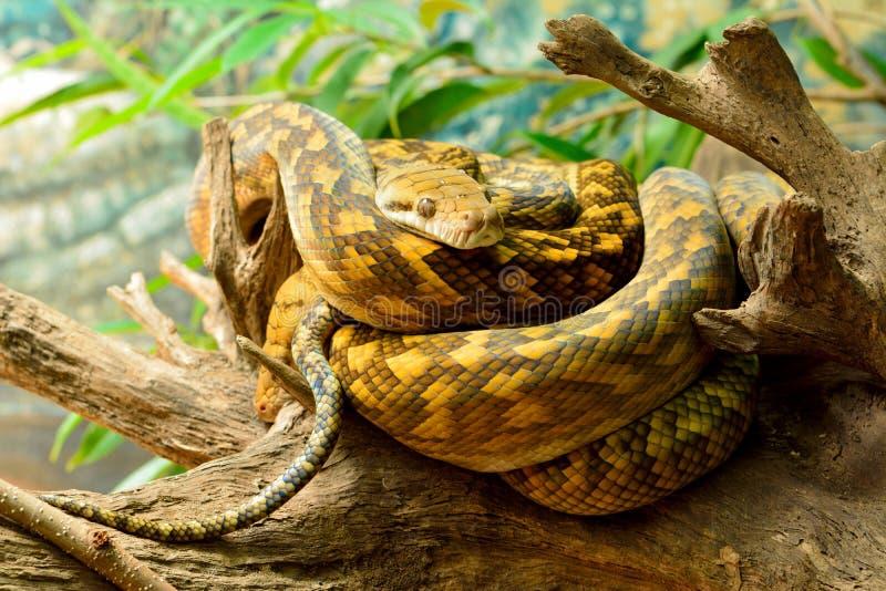 Scheuern Sie Pythonschlange Morelia-kinghorni stockfoto