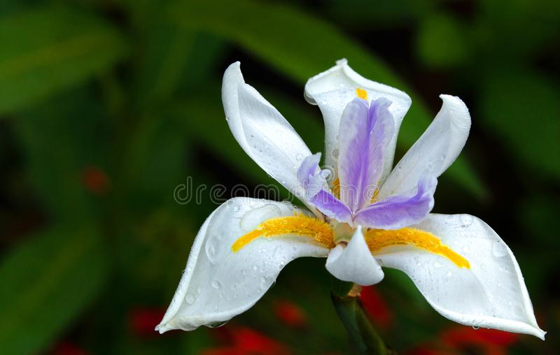 Scheurdalingen op Iris #2 royalty-vrije stock foto