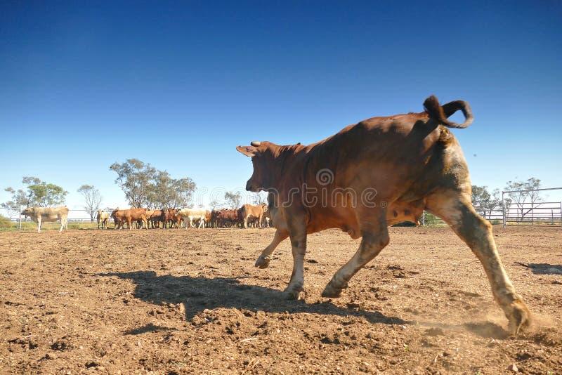 Schiacciamento Australia del bestiame immagini stock libere da diritti