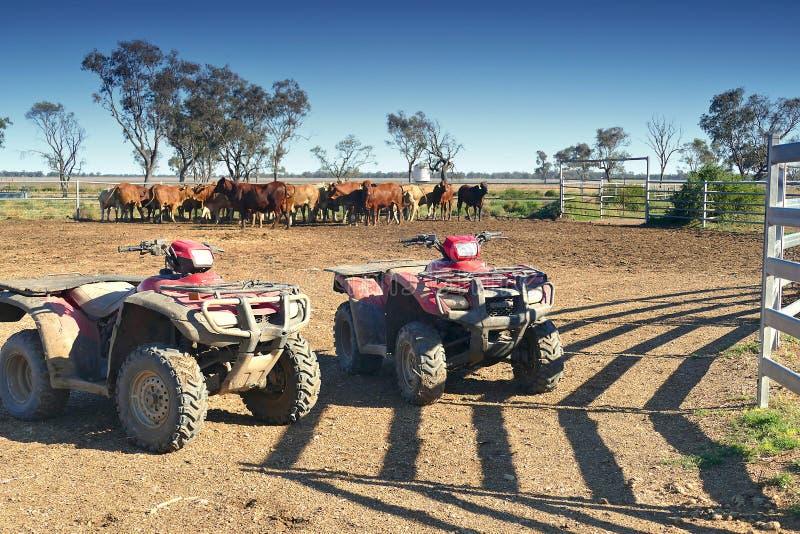 Schiacciamento Australia del bestiame fotografia stock
