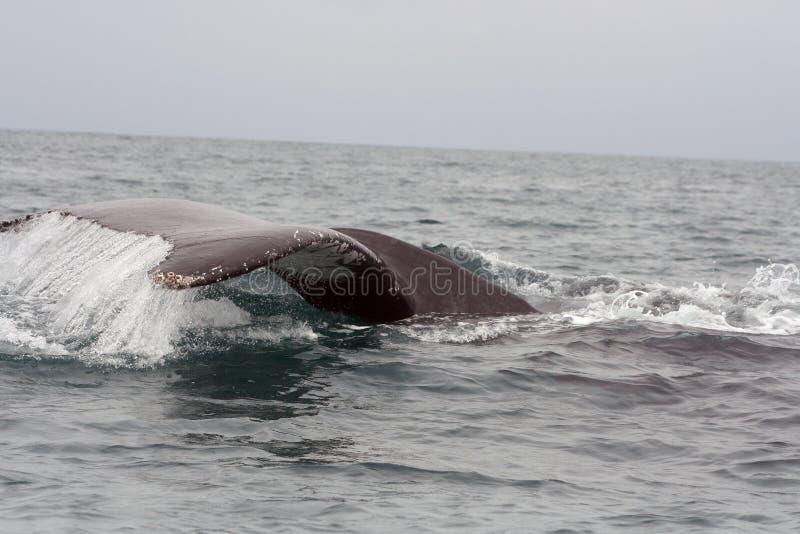 Schiaffo della coda di una balena di Humpback fotografia stock libera da diritti