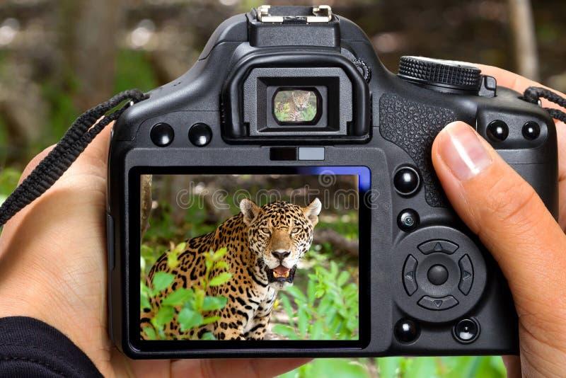 Schießenjaguar in den wild lebenden Tieren lizenzfreie stockbilder