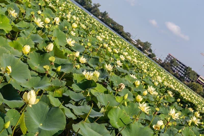 Schieben von Stadtansicht von Carter Lake Iowa mit Lotus-Feld, das den See bedeckt stockfotos