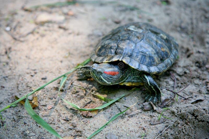 Schieberschildkröte lizenzfreies stockbild