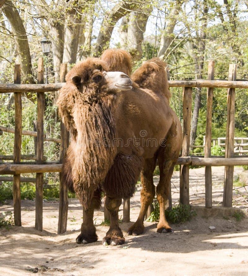 Schiff des Bactrian Kamels des Kamel Artiodactylwiederkäuers der Wüste lizenzfreies stockbild