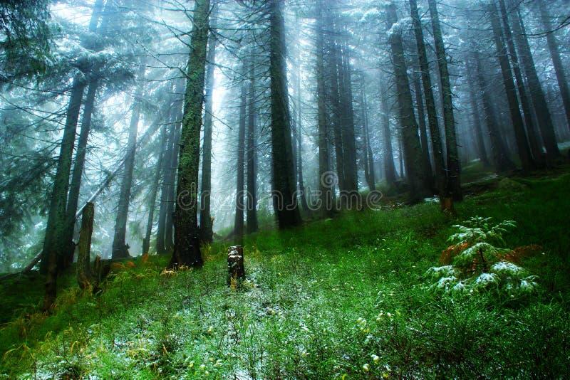 Schijnsels in het groene bos met bont-bomen na de eerste sneeuw royalty-vrije stock fotografie