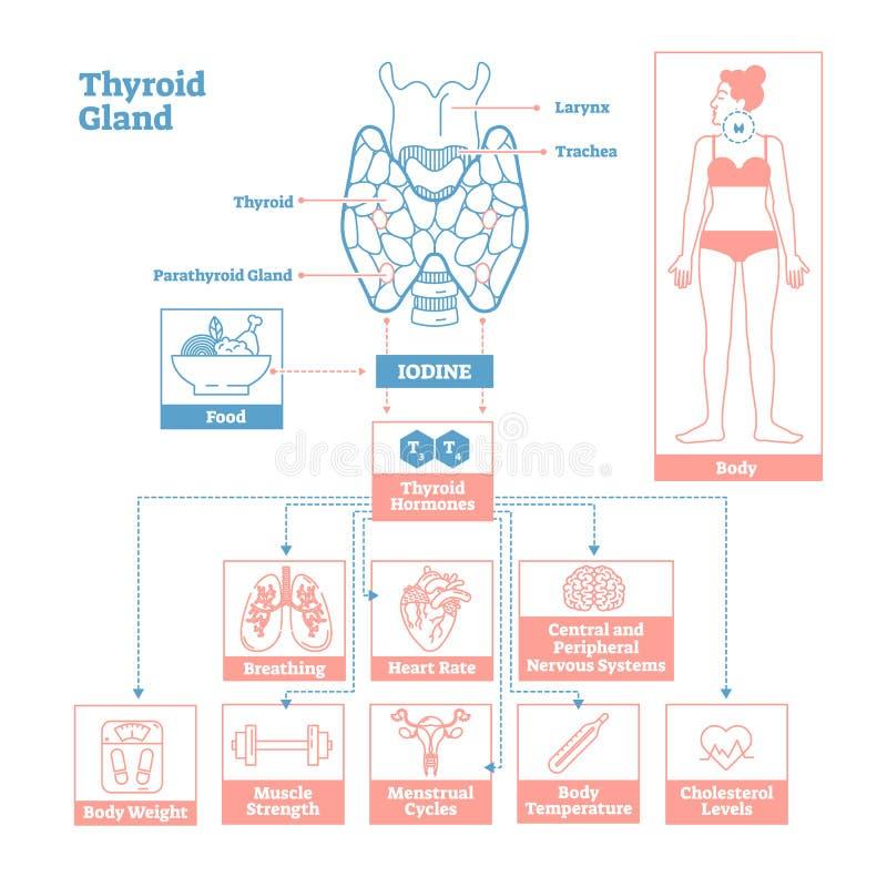 Schilddrüse des Drüsensystems Heilkundevektor-Illustrationsdiagramm lizenzfreie abbildung