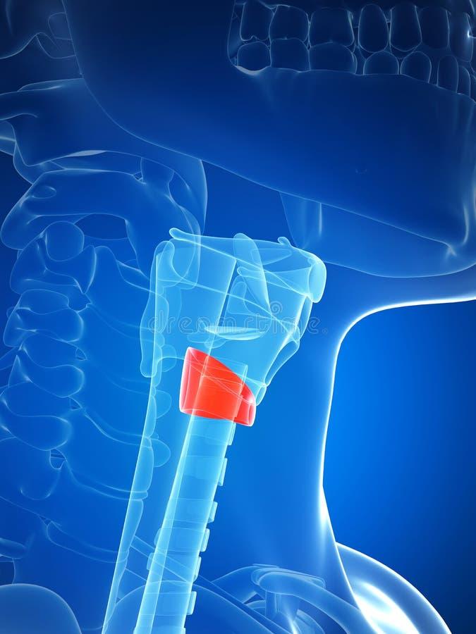 Schilddrüsenanatomie stock abbildung. Illustration von atem - 30726521