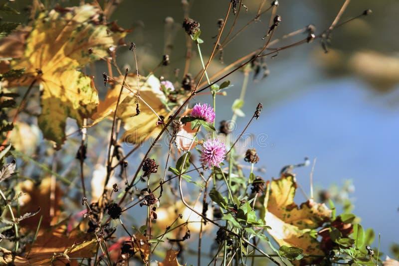 Schilderachtige kleurrijk varicolored gevallen bladeren in droog gras in zonnige dag en Laatste klaverbloemen, doorzichtig in de  royalty-vrije stock foto's