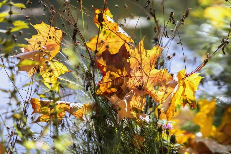 Schilderachtige kleurrijk varicolored gevallen esdoornbladeren in droog gras in zonnige dag, doorzichtig in de zon De natuurlijke stock fotografie