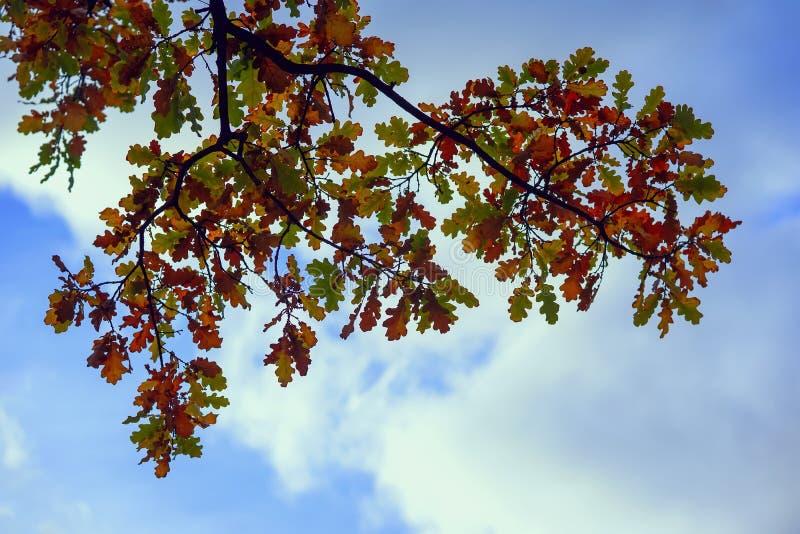 Schilderachtige kleurrijke eiken bladeren tegen de achtergrond van de naakte hemel, een tak van beneden naar boven De natuurlijke stock afbeelding