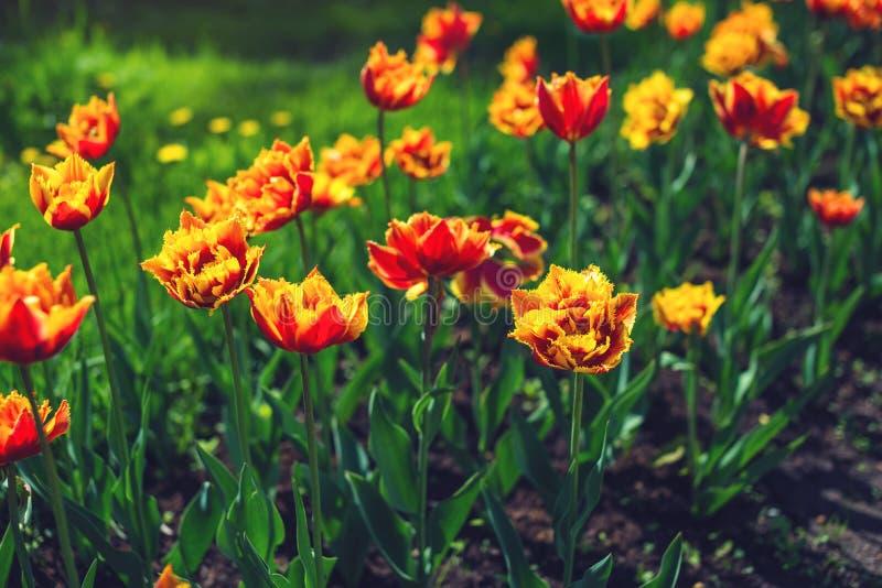 Schilderachtige weide met mooie tot bloei komende knoppen van geeloranje tulpen Leuke heldere achtergrond van bloeiende bloemen stock foto