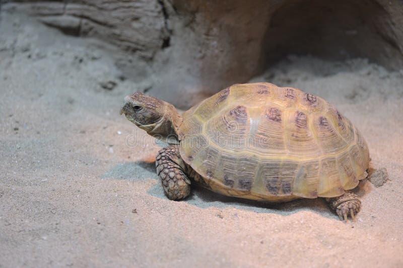 Download Schildkröte stockfoto. Bild von draußen, wirbeltier, braun - 9089730