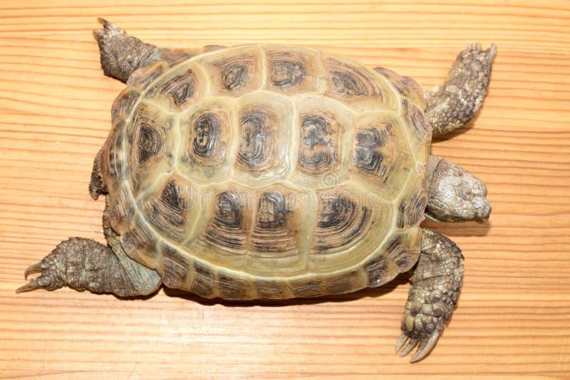 Schildkröte auf dem hölzernen Schreibtisch stockfotos