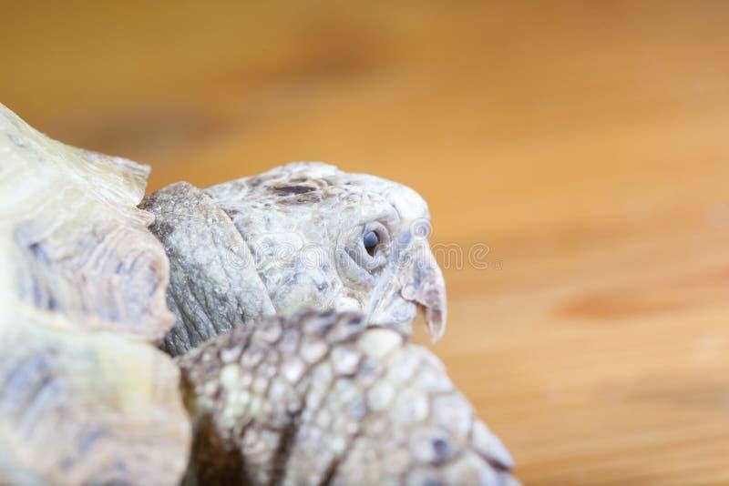 Schildkröte auf dem hölzernen Schreibtisch lizenzfreies stockbild