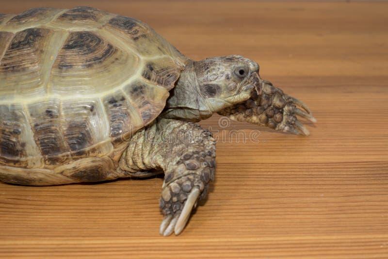 Schildkröte auf dem hölzernen Schreibtisch lizenzfreies stockfoto