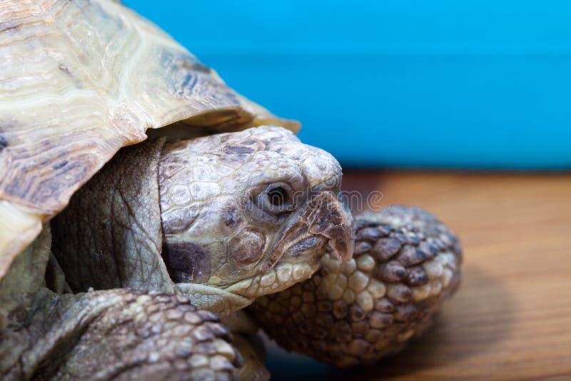 Schildkröte auf dem hölzernen Schreibtisch stockbilder