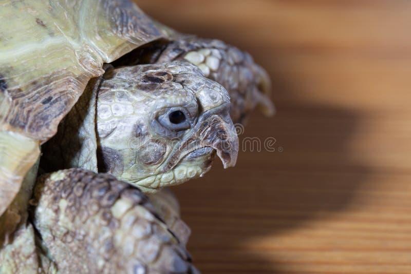 Schildkröte auf dem hölzernen Schreibtisch stockfoto