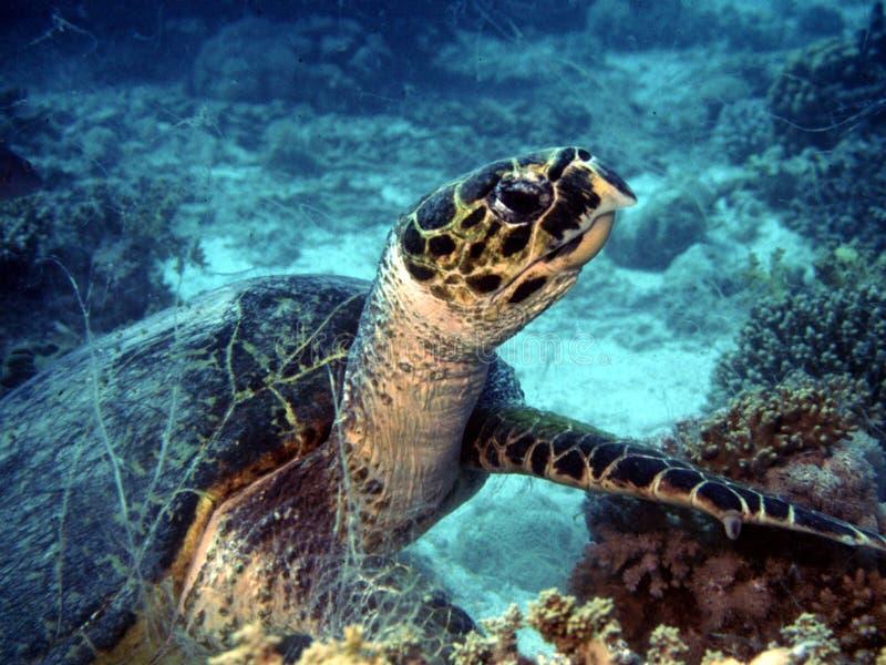 Schildkröte auf dem Riff stockfotos
