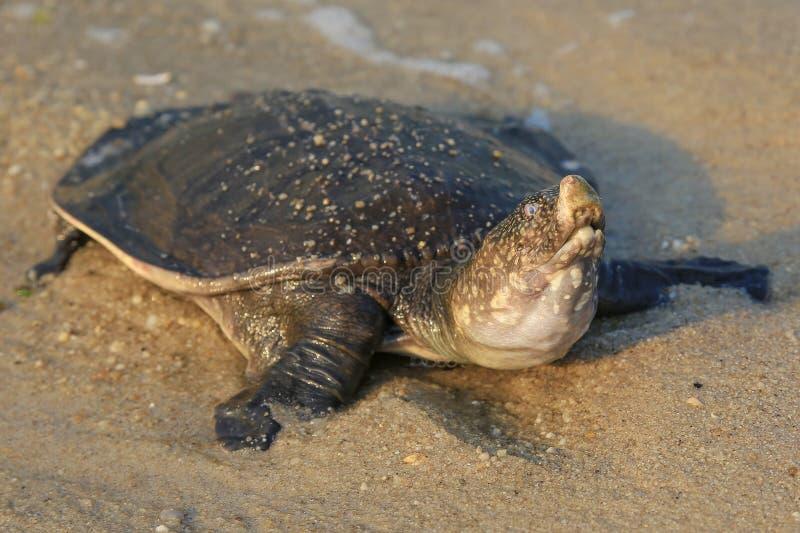 Schildkröte auf dem Strand lizenzfreies stockfoto