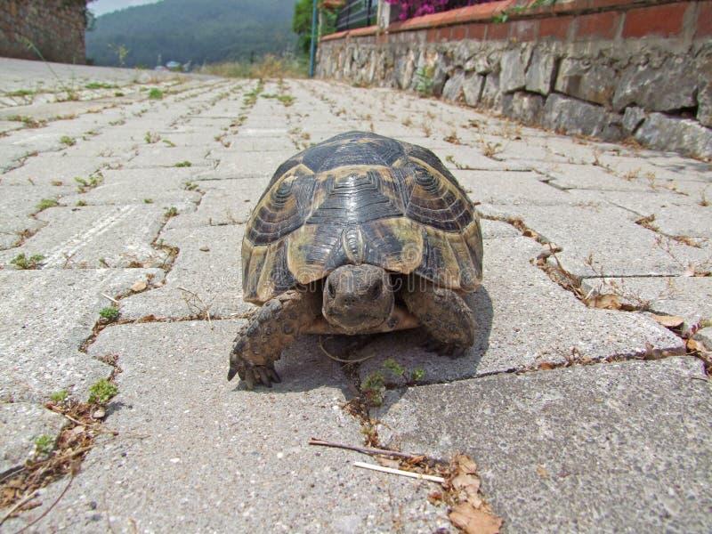 Schildkröte auf dem Weg lizenzfreie stockfotos