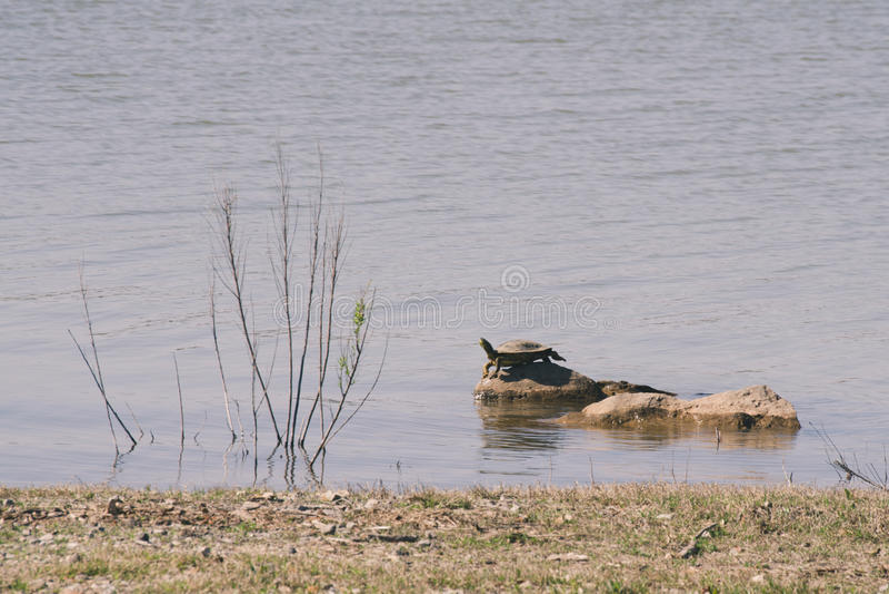 Schildkröte auf den Felsen lizenzfreies stockfoto