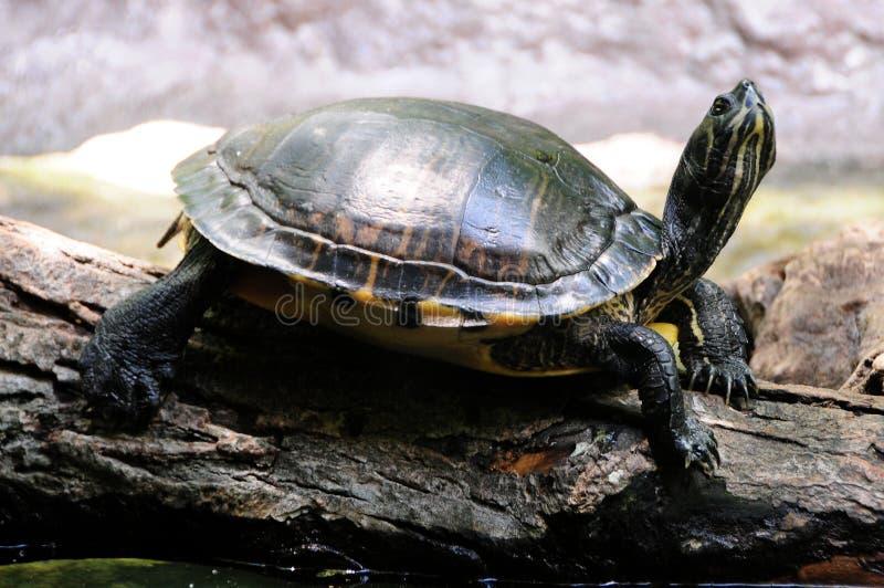 Schildkröte auf einem Felsen lizenzfreies stockbild