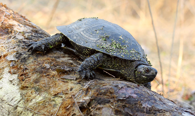 Schildkröte auf einem Protokoll lizenzfreie stockfotografie
