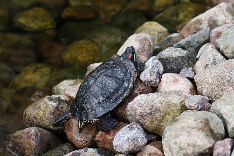 Schildkröte auf Felsen lizenzfreie stockfotografie
