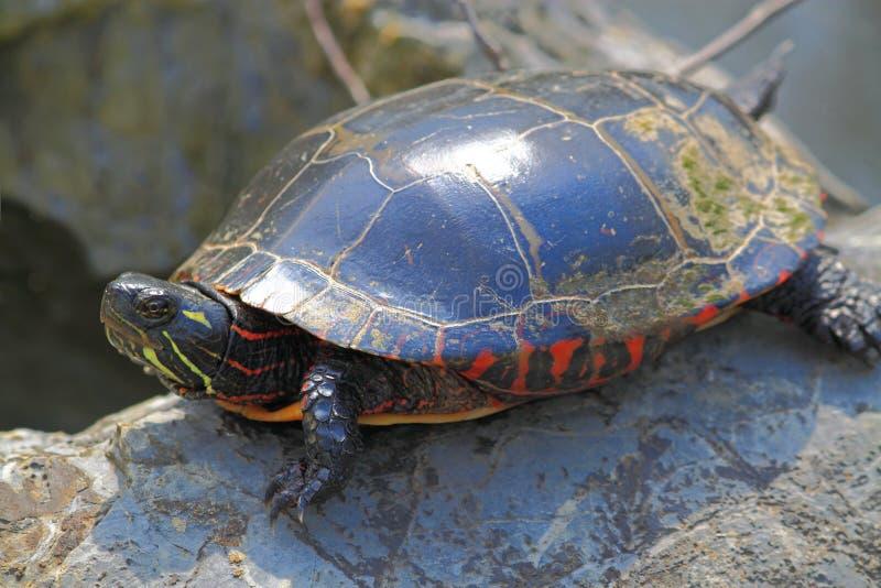 Schildkröte auf Felsen lizenzfreie stockfotos
