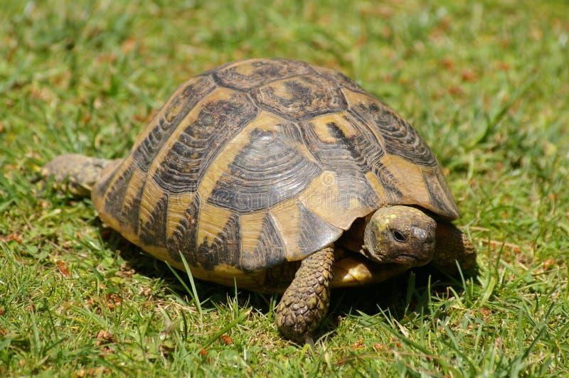 Schildkröte auf Gras lizenzfreie stockfotografie