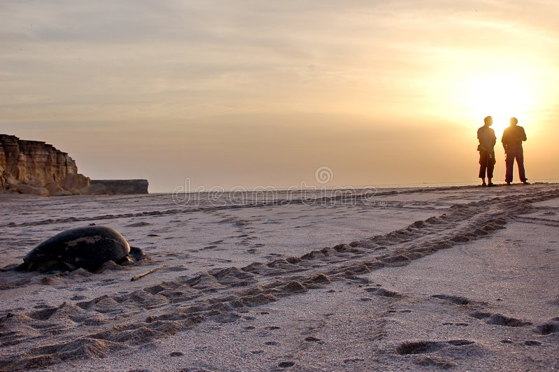 Schildkröte auf Oman-Strand stockbilder