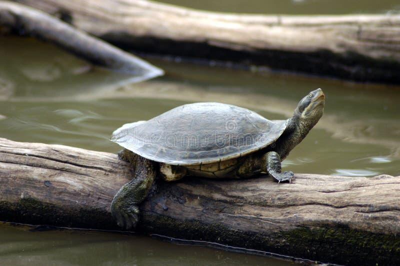 Schildkröte auf Protokoll. stockfotos