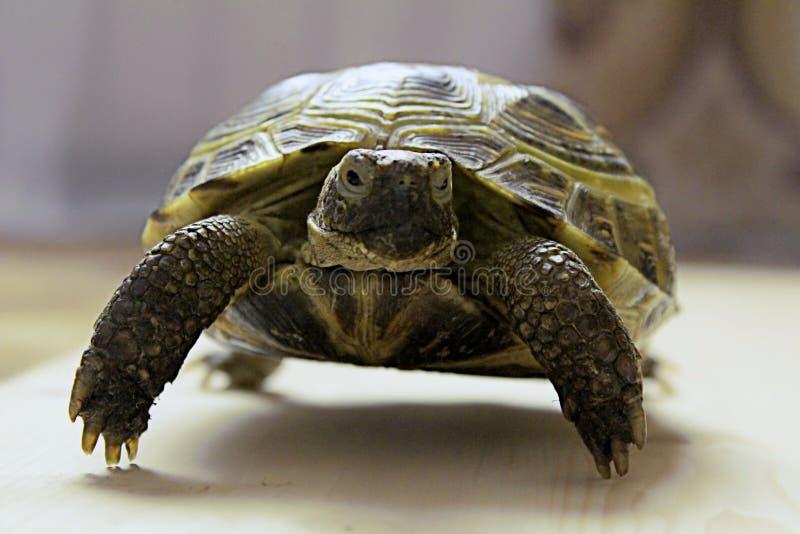 Schildkröte auf unscharfem Hintergrund stockfoto