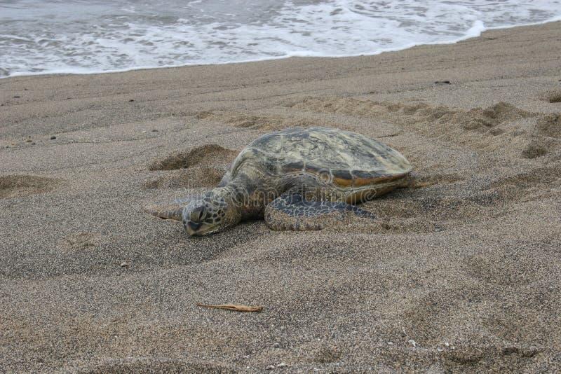 Schildkröte in der halben Bucht stockfoto
