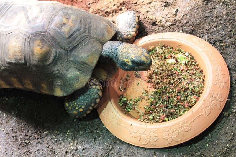 Schildkröte an der Platte mit Nahrung lizenzfreies stockfoto