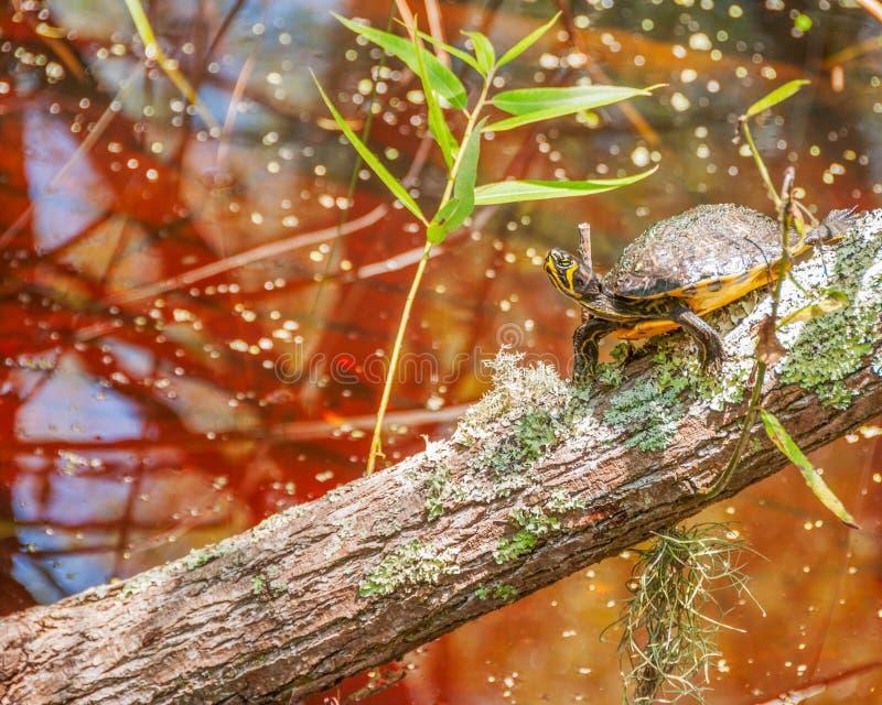 Schildkröte in der Sumpfumwelt stockfoto