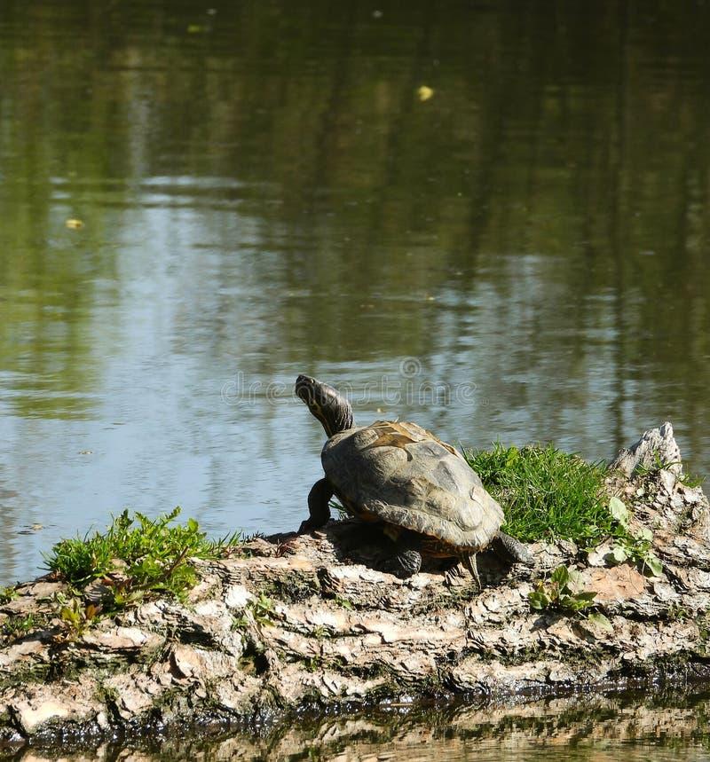 Schildkröte der Teich aufpassender itÂs stockbild