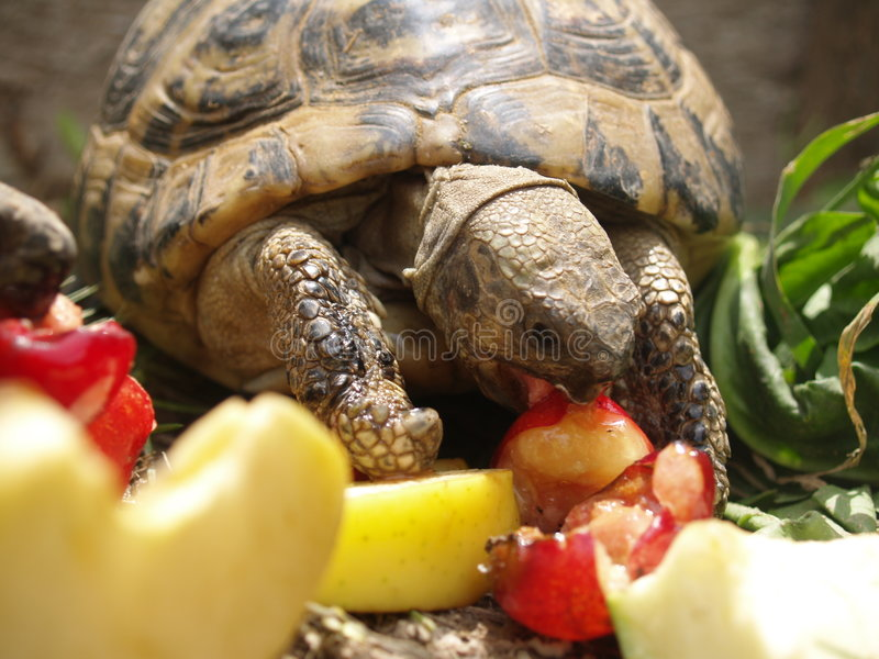 Schildkröte des Schulamts stockbilder